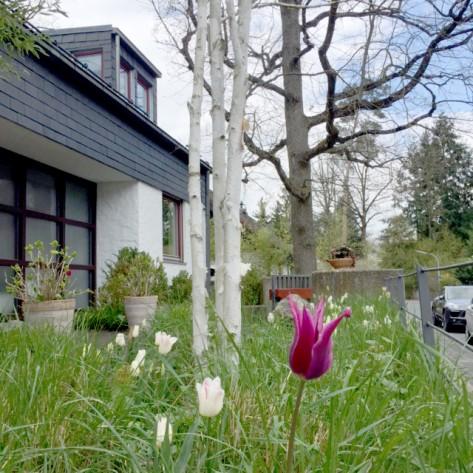 Lilienförmige Tulpen