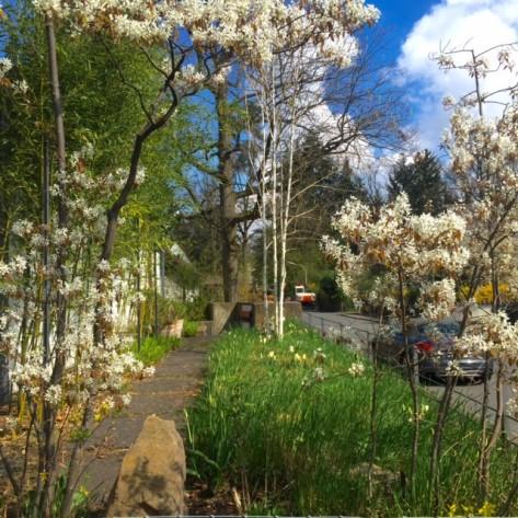 Felsenbirne mit Tulpen u Reitgräsern