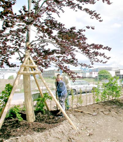 Grossbaum einpflanzen